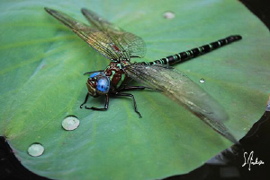 Lily pads in a pond provide a perfect landing strip for a... by Steven Anderson
