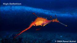 Female weedy seadragon filmed with HDCAM high definition ... by Pawel Achtel