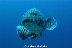 Reef shark by Maleen Hoekstra