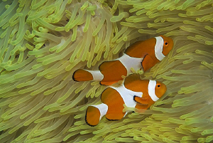 Clownfish by Jörg Menge