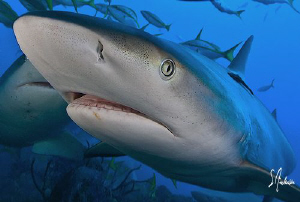 Reef Sharks coming in close. This was the last dive of th... by Steven Anderson