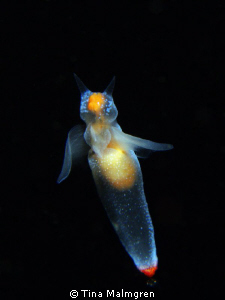 Clione limacina - sea angel by Tina Malmgren