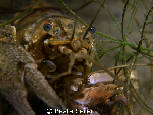 Crayfish Closeup, Taken with Canon G10 and UCL165 by Beate Seiler