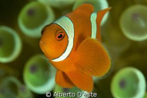 Clown Fish by Alberto D'este