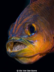 Ringtail Cardinal Fish brooding eggs in its mouth by Els Van Den Borre