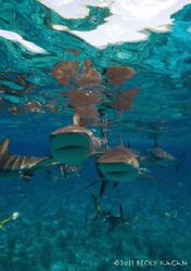 Reef sharks swim at the camera by Becky Kagan