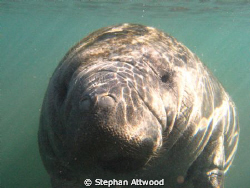 Manatees in the Homosassa river by Stephan Attwood