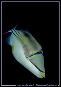 TriggerFish in the waters of the Red Sea... :O)... by Michel Lonfat