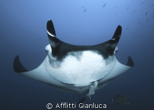 manta face to face......... by Afflitti Gianluca