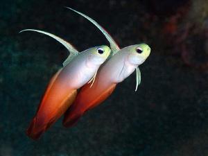 Dartfish pair. Tulamben, Bali by Doug Anderson