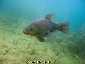 Tench, taken with Canon G10 , no strobe by Beate Seiler