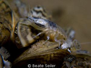 Amphipod by Beate Seiler