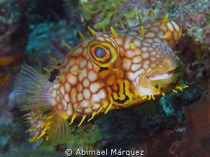 Happy Balloonfish by Abimael Márquez