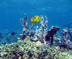 Blue Spot Butterfly Fish, Ningaloo Reef by Penny Murphy