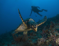 Turtle in St Thomas. by Juan Torres