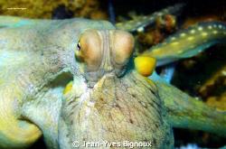 Octupus Mauritius- Balaclava  Mauritius Underwater Photo... by Jean-Yves Bignoux