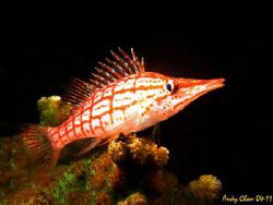 LongNose HawkFish - Tulamben Shipwreck by Andy Chan