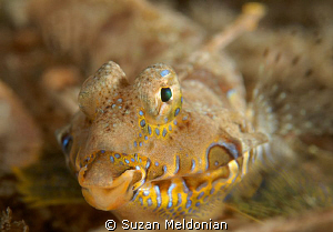 A Happy Dragonet ! by Suzan Meldonian