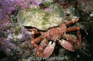 Channel Clinging Crab out in daytime  from under his cust... by Lisa Hinderlider