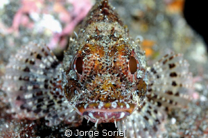 Madeira rockfish patiently posing in the seabed. The phot... by Jorge Sorial