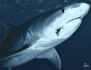 This Tiger Shark has some hook damage which will probably... by Steven Anderson