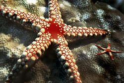 Comores islands, starfish, composing>little starfish, Nik... by Manfred Bail