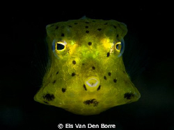 Green baby cowfish. by Els Van Den Borre