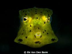 Green baby cowfish. by Els Van Den Borre