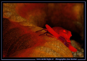 Imperial Shrimp on a Sea Cucumber in the waters of Lembeh... by Michel Lonfat