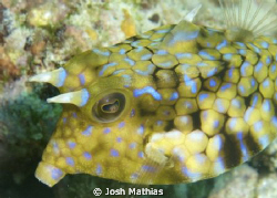 Cow fish on the run, great reflection of the eye. by Josh Mathias
