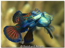 Lovestory Mating Mandarinfishes by Reinhard Arndt