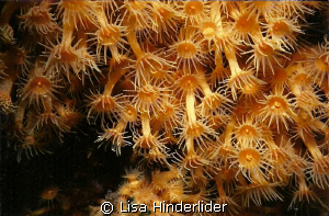 Colonial polyps- Catalina Island by Lisa Hinderlider