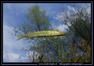 """Swiss Pike Fishes can """"Fly""""..... :O)... by Michel Lonfat"""