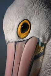 Australian Pelican wins with American Pelican in the beau... by Pawel Achtel