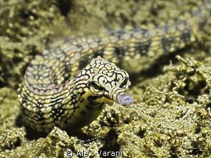 corythoichthys intestinalis in Secret Bay (Bali) by Alex Varani