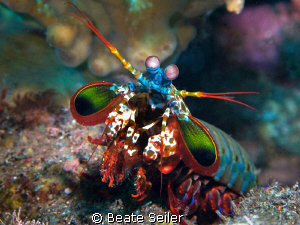 Mantis shrimp, taken with Canon G10 and UCL165   by Beate Seiler
