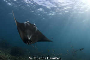 Julian Rocks, Byron Bay. It is not uncommon to dive with ... by Christine Hamilton