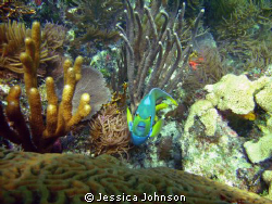 This Angel Fish was very interested in my camera. I took ... by Jessica Johnson