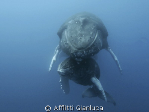 family of humpback whales by Afflitti Gianluca