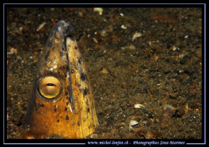 Snake Eel in the sand of Lembeh Strait.... :O).. by Michel Lonfat