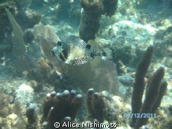 Spotted trunkfish just strolling by by Alice Nishimoto