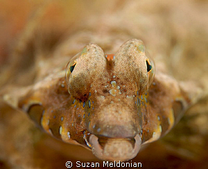 Male Lancer's Dragonet up front and personal! by Suzan Meldonian