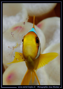 """Cleaning time"" for this Clown Fish.... :O)... by Michel Lonfat"