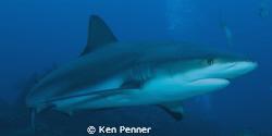 Caribbean Reef Shark. Taken in Roatan, Honduras. by Ken Penner