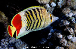 Butterfly fish in Red Sea. by Fabrizio Frixa