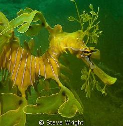Leafy Seadragon,shot taken at Tumby Bay Sth Australia wit... by Steve Wright