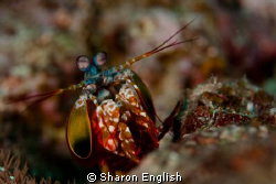 Mantis Shrimp by Sharon English