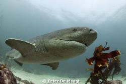 Sevengill shark at Simon's Town by Peter De Maagt