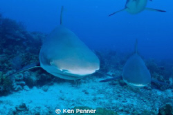 Caribbean Reef Sharks by Ken Penner
