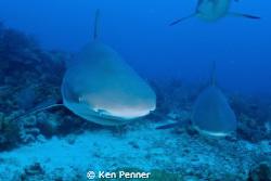 Caribbean Reef Sharks by Ken Penner
